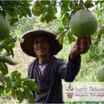 Bibit Jeruk Pamelo Madu- Jeruk Jumbo Yang Juga Disebut Jeruk Bali Dengan Rasa Manis
