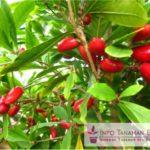 Bibit Buah Ajaib – Miracle Fruit Mampu Membuat Rasa Manis di Tenggorokan Sampai Berjam-jam