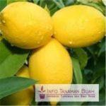 Bibit Buah Lemon – Sikuning Yang Kaya Vitamin C