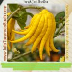 LEMON JARI BUDHA – SI JERUK LEMON UNIK KAYA MANFAAT