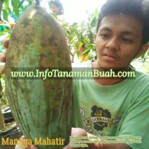 Bagi masyarakat Indonesia buah mangga mahatir juga dikenal dengan nama mangga esmo. Tanaman buah mahatir termasuk tumbuhan tingkat tinggi yang termasuk ...