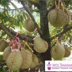 Bibit Durian Bawor – Durian Asli Indonesia Ukuran Buah Sangat Besar dengan Rasa Legit Sedikit Pahit
