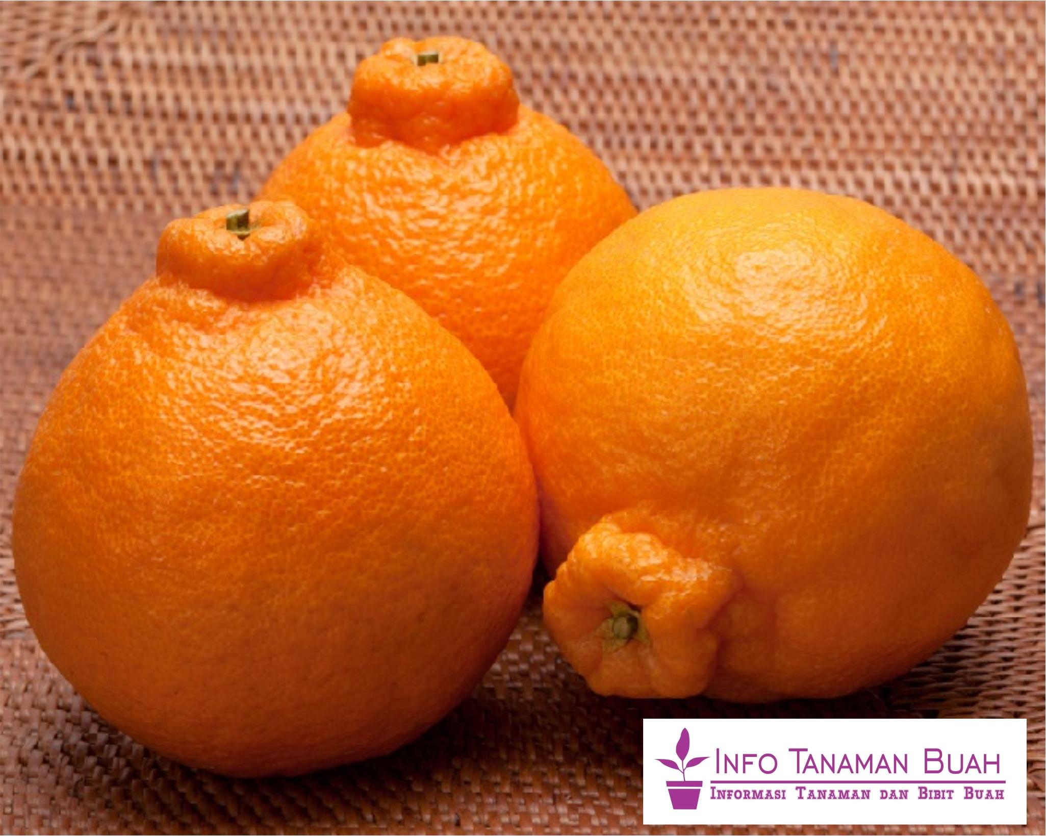 Bibit Jeruk Dekopon – Jeruk Asal Jepang Dengan Bentuk Buah Bulat dan Berbenjol pada Bagian Tangkai, Ukuran Besar, Warna Orange Mencolok dan Sangat Manis