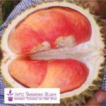 Bibit Durian Pelangi – Durian Unggulan Yang Unik dengan Daging Buah Berwarna Warni