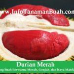 Jual Bibit Durian Merah
