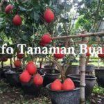 Jual Bibit Pamelo Merah ( Jeruk Bali Merah )