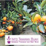 Tabulampot Jeruk Nagami – Cara Mudah Membuat Tabulampot Jeruk Nagami