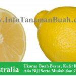Jual Bibit Lemon Australia – Besar, Kuning Bersih dan Hampir Tak ada Biji
