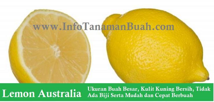 JUAL BIBIT LEMON AUSTRALIA