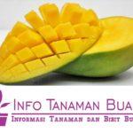 Bibit Mangga Harum Manis – Buah Mangga Asli Indonesia Dengan Aroma Wangi dan Rasa Sangat Manis Favorit Masyarakat Indonesia
