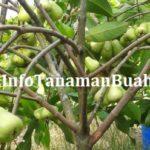 Manfaat dan Kandungan Buah Jambu Air Madu Dheli Hijau