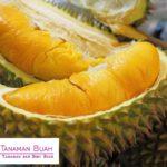 Bibit Durian Montong – Rajanya Raja Buah