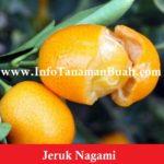 Bibit Jeruk Nagami – Jeruk Asal Jepang Yang Dapat Dimakan Bersama Kulitnya