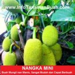 Bibit Nangka Mini