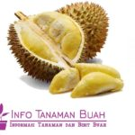 Bibit Durian Petruk – Durian Yang Cocok Untuk Dataran Rendah dengan Rasa Daging Buah Duriannya Yang Manis Legit, Ukuran Buah Agak Kecil