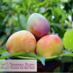 Bibit Mangga Agrimania – Mangga Asli Indonesia Dengan Warna Menarik, Rasa Sangat Manis dan Berukuran Lumayan Besar