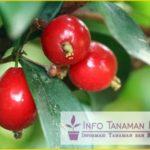 Bibit Buah Cherry Vietnam – Buah Cherry dengn Bentuk Love atau Hati dan rasa Manis