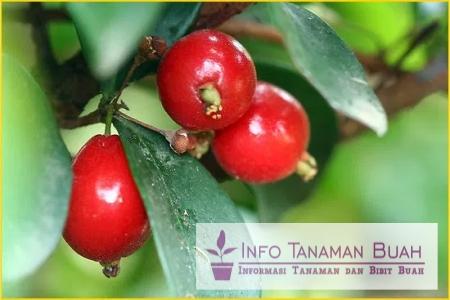 buah chery vietnam
