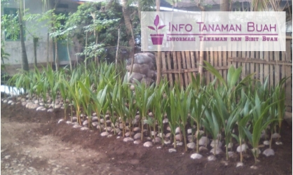 Bagi anda yang menginginkan hasil tanam kopyor yang baik, silahkan hubungi kami. Kami menyediakan bibit kelapa kopyor yang bergaransi. Jadi tak perlu ragu, ...