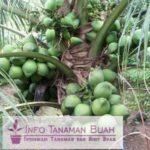 Bibit Kelapa Entok – Jenis Kelapa Dengan Pohon Pendek Dan Berbuah banyak