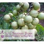 Bibit Lengkeng Aroma Durian – Jenis Lengkeng Unggul dataran Rendah Dengan Aroma Buah Durian dan Rasa Lengkeng yang Manis