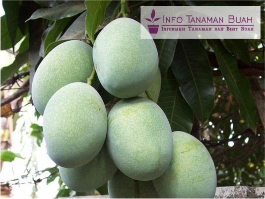 buah mangga lali jiwo