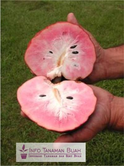 buah sirsak merah