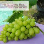 Bibit Anggur Hijau – Meski Buah Berwarna Hijau Namun Rasa Buah Manis dan Sangat Mudah Berbuah