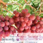 Bibit Anggur Merah – Warna Merah Buah Anggur Mengesankan Rasa Buah Yang Manis Namun Juga Sangat Genjah