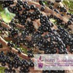 Bibit Jaboticaba – Buah Anggur Pohon yang Sangat Menawan Dengan Dompolan Buah di Setiap Batang dan Rasa Buah Yang Manis