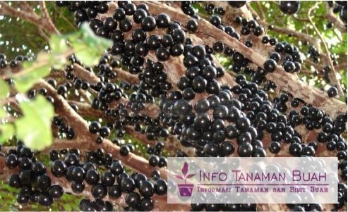 buah anggur brazil