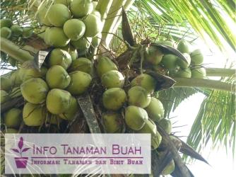 buah kelapa hijau