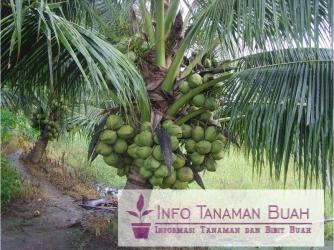 Pohon kelapa kopyor bisa diperbanyak dengan cara generatif atau vegetatif. Perbanyakan generatif cukup dengan cara menanam kembali buah kelapa hingga ...