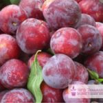 Beberapa Jenis Tanaman Buah Anggur Terbaik
