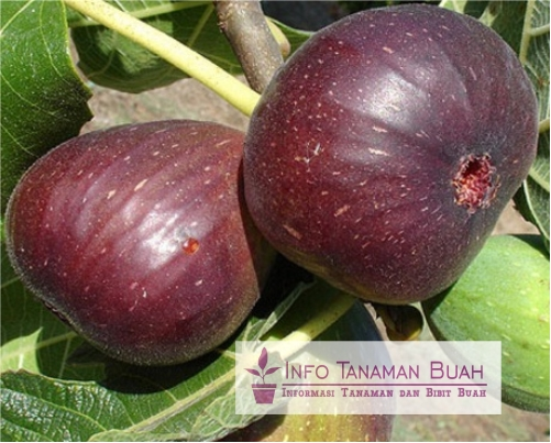buah tin puple jordan