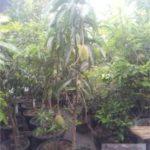 TABULAMPOT MANGGA IRWIN – Cara Agar Pohon Mangga Irwin Cepat Berbuah Didalam Pot