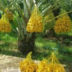 Beberapa Jenis Tanaman Kurma Tropis Yang Bagus Untuk Dibudidayakan di Indonesia