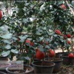 Tabulampot Jeruk Pamelo Merah – Cara Mudah Agar Pohon Jeruk Pamelo Merah Dapat Berbuah Didalam Pot