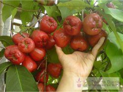 buah Jambu Air deli merah