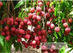 buah leci kom
