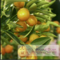 buah jeruk kintan