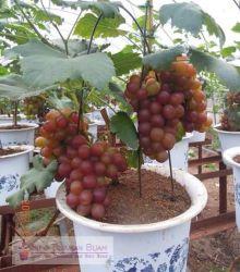 Teknik Menanam Tanaman Buah Anggur Merah Dalam Pot