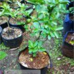 Jeruk Kintan – Jenis Jeruk Yang Sangat Cocok Untuk Dijadikan Tabulampot