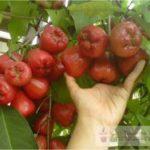 Jambu Air Dalhari – Jenis Jambu Air Yang cocok Untuk Dibudidayakan