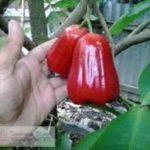 Jambu Madu Deli Merah – Jambu Air yang Merah, Besar dan Manis