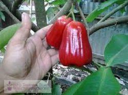 madu deli merah