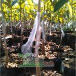 Okulasi Durian Dapat Dilakukan Sendiri Untuk Memperbanyak Bibit Durian Anda