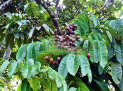buah matoa