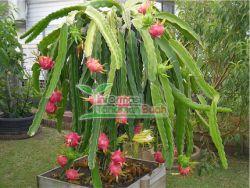 buah naga dalam pot