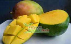 buah mangga klonal